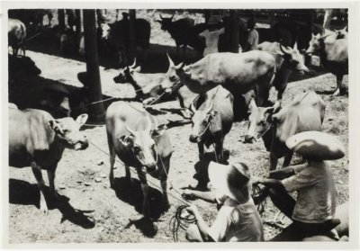 cattle trade bali pl dronkers 1947 01
